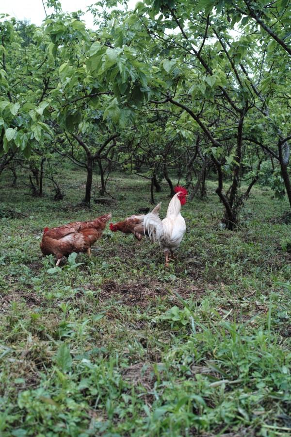 鶏放し飼い