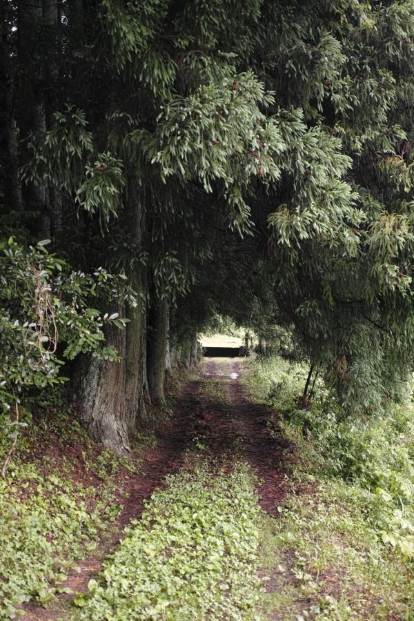 杉のトンネル