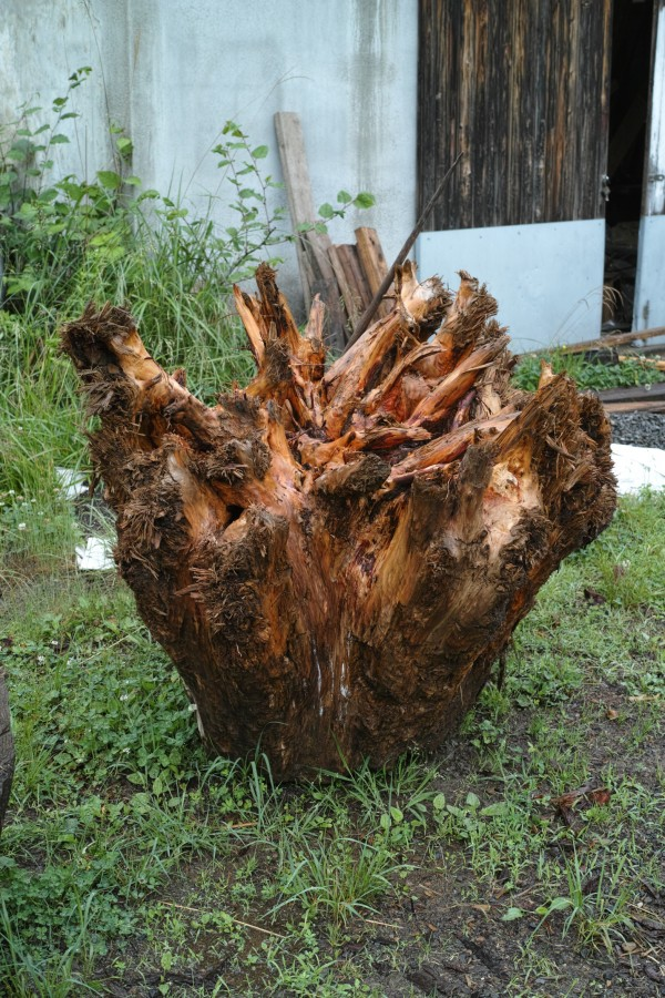 木の根っ子