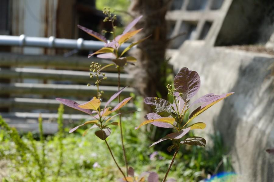 スモークツリーの芽吹き